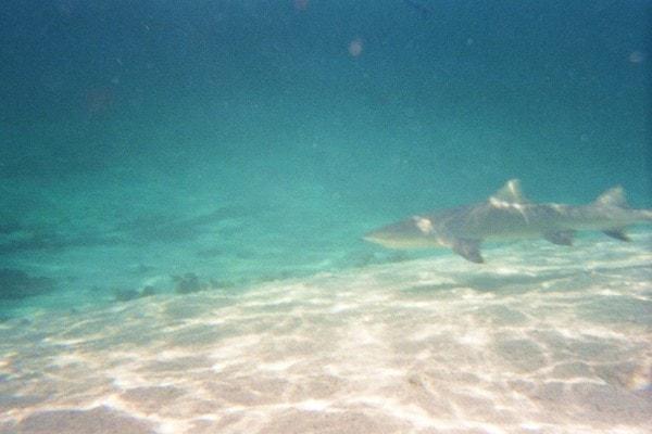 Requin citron de Petite Terre