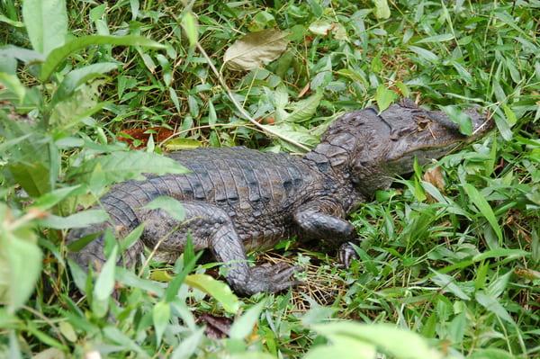 Crocodile de Tortuguero