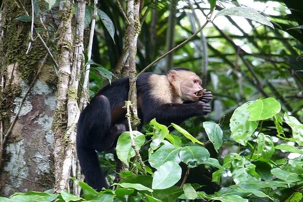 Singe à Tortuguero au Costa Rica