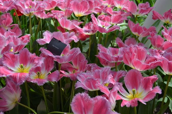 Variété de Tulipes
