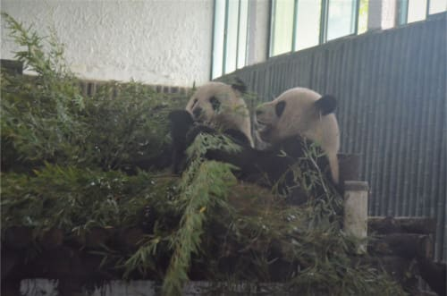 Panda Zoo Shanghai
