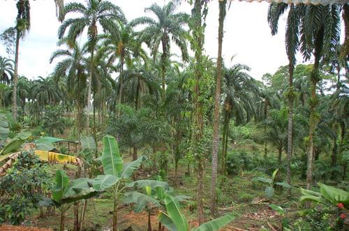 Palmeraie du Costa Rica