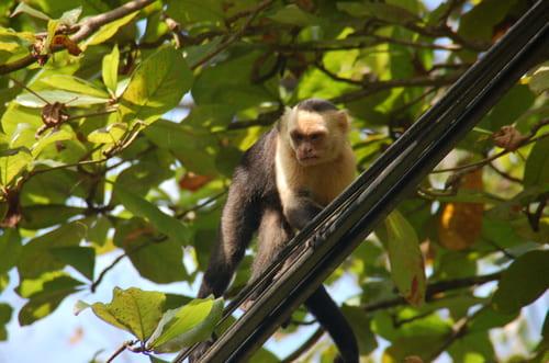 Singe au costa Rica