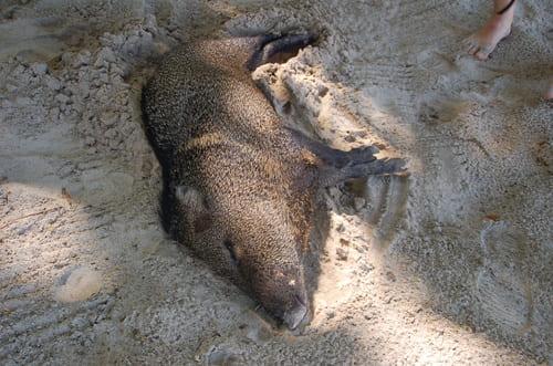 Sanglier sur une plage