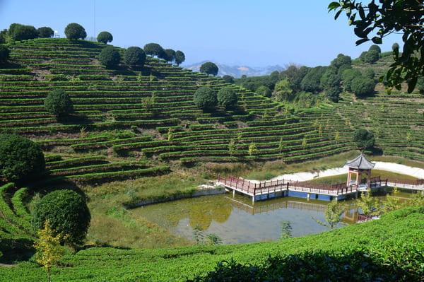 Plantation thé à visiter en Chine