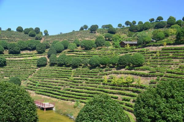 Visite plantation de thé en Chine