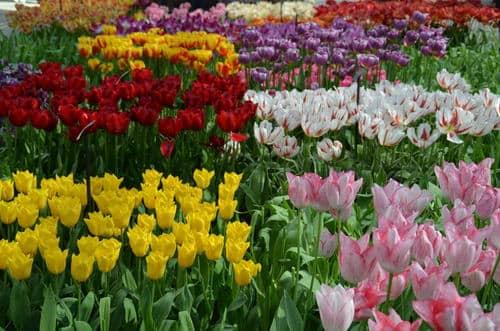 Différentes tulipes Amsterdam