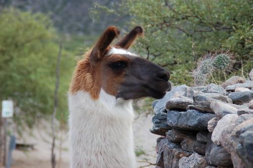 Lamas à Quilmes