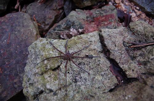 Mexique araignée