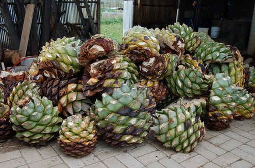 Cactus Mezcal