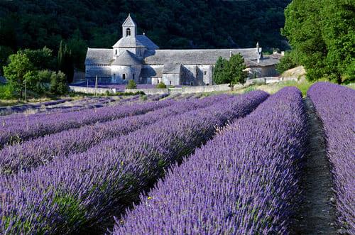 Lavandes fleuraison Luberon