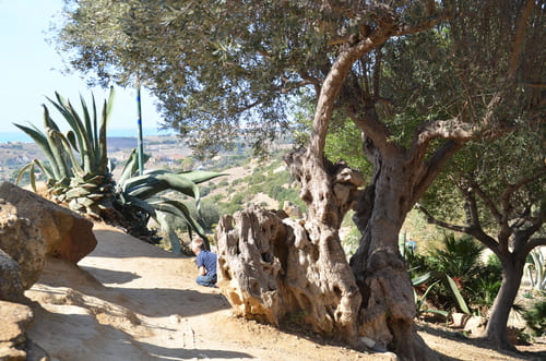 Site Agrigente oliviers