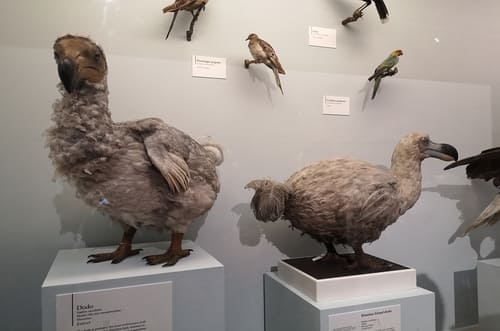 dodo empaillés musée
