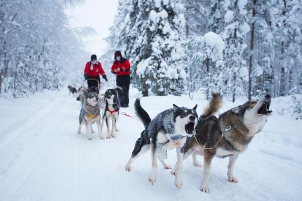 Huskies chien de traineaux