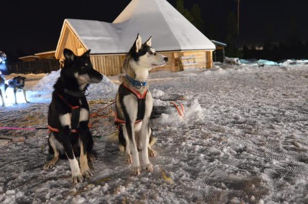 Chiens de traineaux huskies