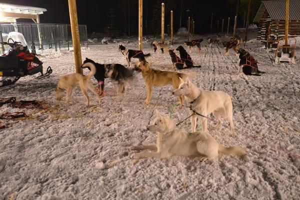 Chiens de traineaux Rovaniemi
