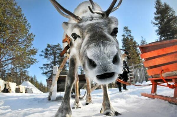 Sortie en traineaux avec des rennes Rovaniemi