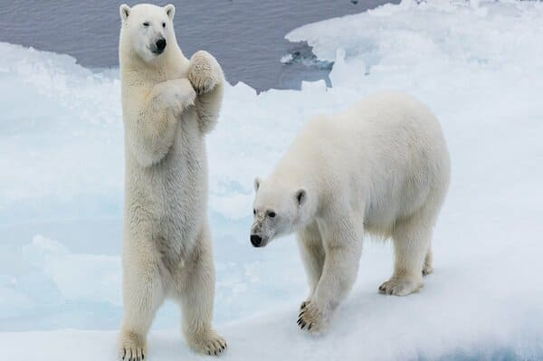 Zoo de Ranua ours Rovaniemi
