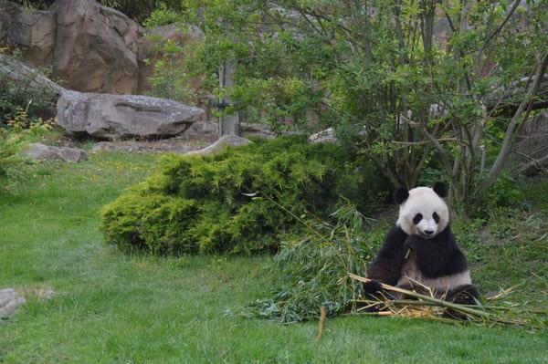 Où voir des pandas en France