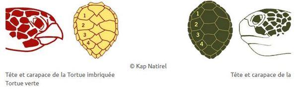 Les tortues en Guadeloupe