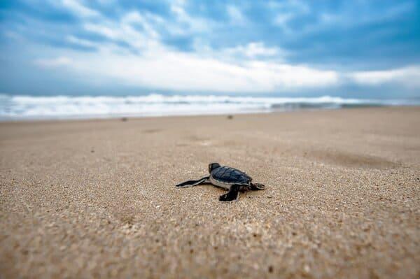 oeuf de tortue éclos plage