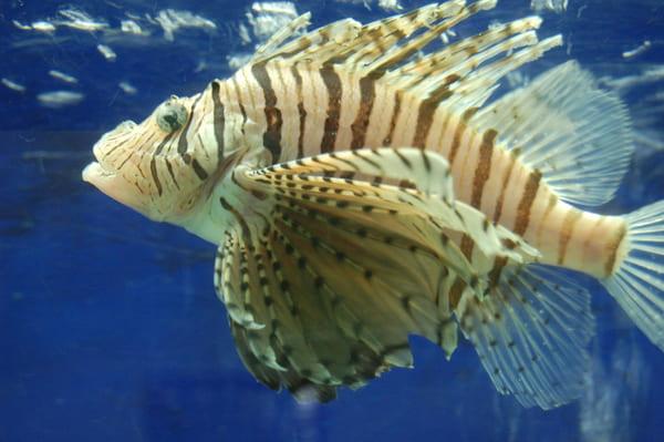 poisson dangereux en Guadeloupe