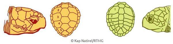 Comment reconnaitre les tortues ?