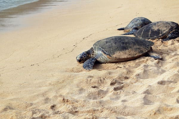 plage guadeloupe tortues