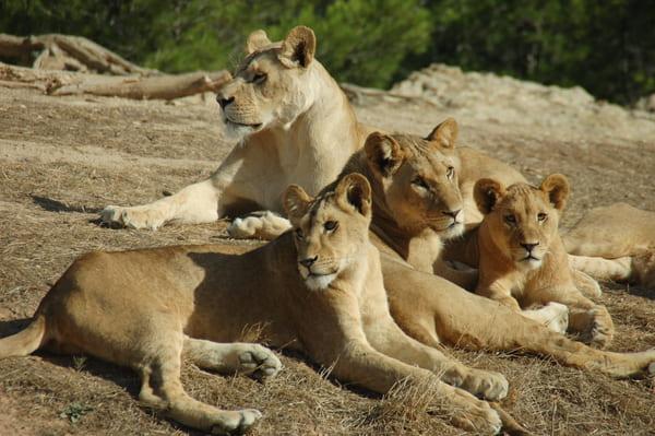 Lionnes de Peaugres
